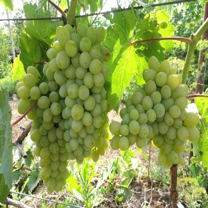 Гарольд сорт винограда