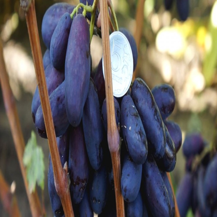 Изюминка сорт винограда