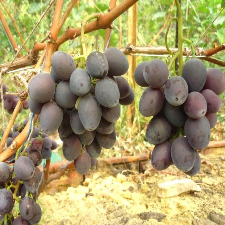 Мавр сорт винограда