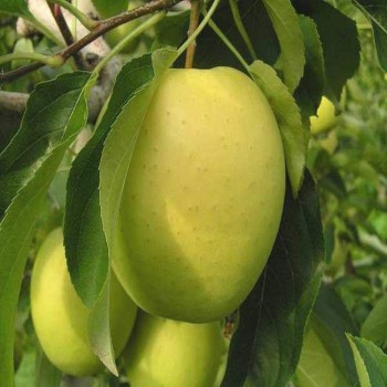 Саженцы яблони Голд Крым в Батайске