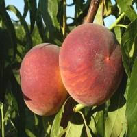 Саженцы персика T-2 Твард Твардив в Батайске