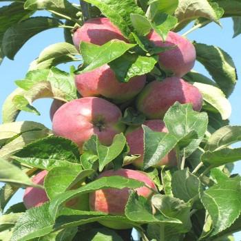 Саженцы колоновидной яблони Трайдент в Батайске