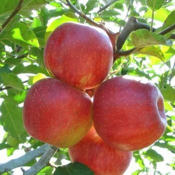 Саженцы яблони Декоста в Батайске