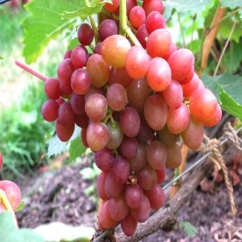 Саженцы винограда Блестящий в Батайске