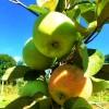 Яблоня саженцы