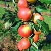 Яблоня колоновидная саженцы